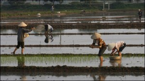 ruong lua me em trong - rice planting time march 2012 vietnam
