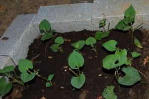 how to grow rau vap ca
