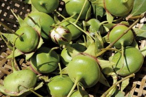 nhieu trai ban - vietnamese cu lao que huogn fruits