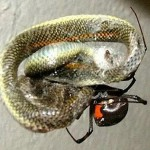 A spider created a trap spider web and killed a snake witness