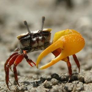 vietnam fiddler crab hoc tro go cong tay