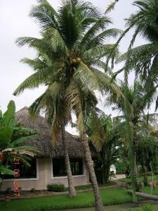 cay dua - vietnam coconut tree