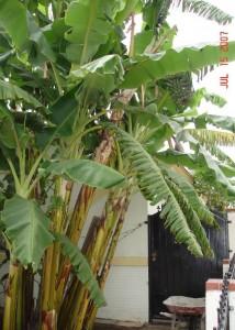 cay chuoi banana tree
