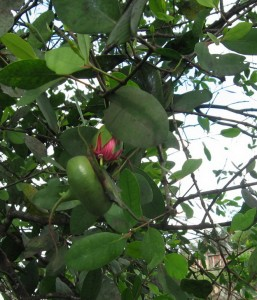 trai ban vietnamese tropical fruit rate grows near water bank creek rach