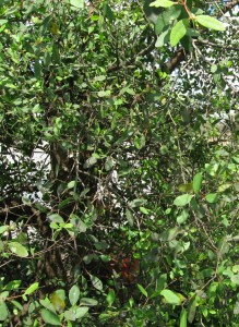 cay ban - Cây Bần