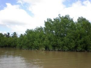 where cay ban grow vietnam water bank cu lao