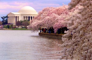 washington dc cherry blossom festival tidal basin march 2012 beautiful blossom of thousand of trees