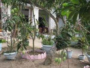 xoai cat - xoai tuong - vietnamese mango