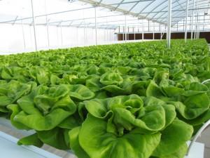 better than organic hydroponics gardening lettuce