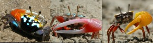 male fiddler crap crab