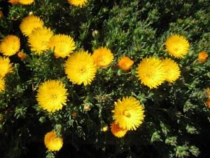 Mặt trời lên cao rồi. Nắng chói chang. Hoa mười giờ nở rực vàng