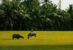Go Cong Trau Nuoc Vietnamese water buffalo in Go Cong Province Vietnam