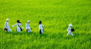 These rice fields will be gone in Vietnam soon due to industrialize factory foreign investors buying